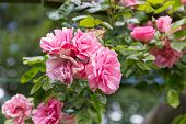 image of garden eden  - Pink rosa in ornamental garden with selective focus - JPG