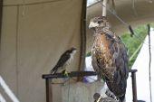 stock photo of falcons  - Tewkesbury Medieval festival - JPG
