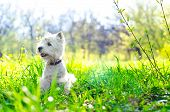 stock photo of west highland white terrier  - west highland white terrier on the grass - JPG