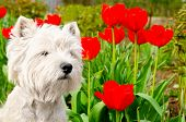 stock photo of west highland white terrier  - west highland white terrier in the garden - JPG