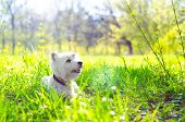 pic of west highland white terrier  - west highland white terrier on the grass