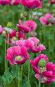 stock photo of opiate  - Closeup of seed boxes and dark pink colored flowers of Papaver somniferum plants cultivated in the Netherlands - JPG