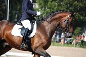 foto of bay horse  - Bay horse portrait during horse dressage competition - JPG