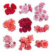 foto of english rose  - Rose collection - JPG