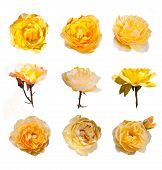 image of english rose  - Rose collection - JPG