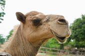Постер, плакат: Funny Camel Portrait