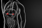 picture of endocrine  - The internal andrenal Organs  - JPG