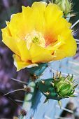 pic of prickly pears  - Yellow bloom of Opuntia humifusa Eastern Prickly Pear - JPG