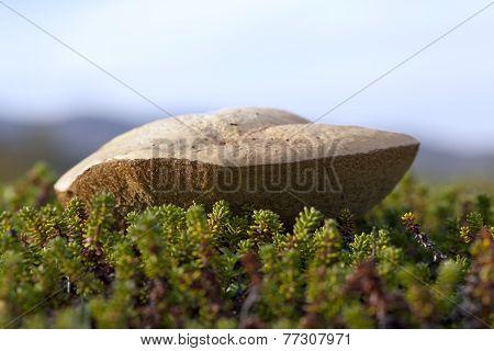 Leccinum, a fungi of the family Boletaceae.