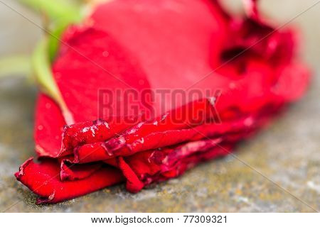 Macro close-up of withering dying red rose
