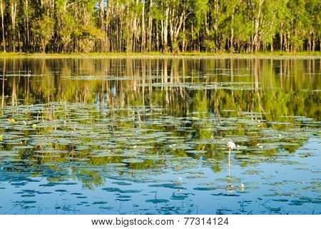 water lilies in the billabong