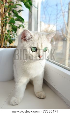 White British Kitten With Green Eyes Is Sitting On The Windowsill In The Sun.