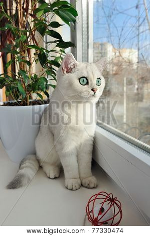 White Kitten Sitting On A Window Sill In The Sun.