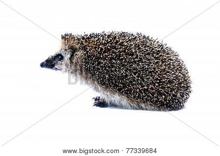 Forest Hedgehog Sitting Isolated