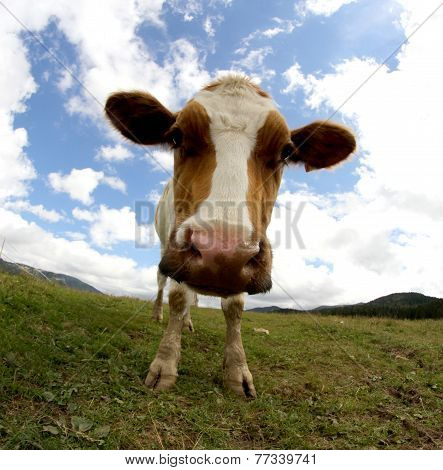 Mountain Cow Photographed With Fisheye Lens And Blue Sky