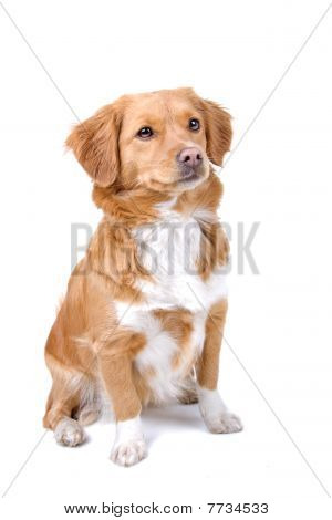 mixed breed dog half tollinger retriever