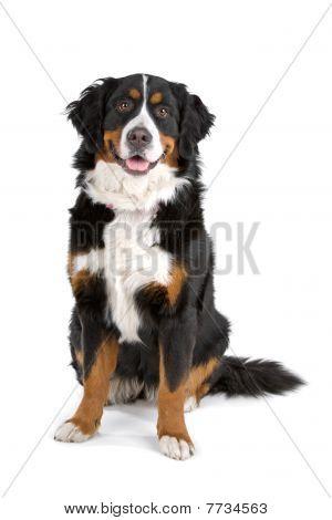 Berner Sennenhund (Berner Sennenhund)