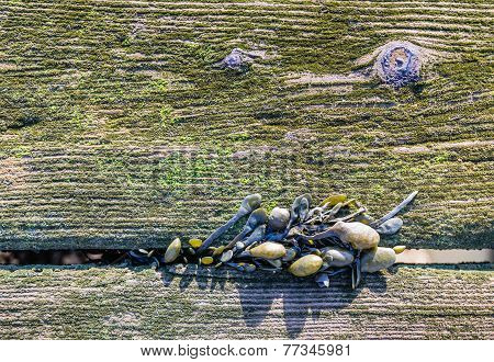 Bladderwrack Growing Between Old Mossy Planks From Close