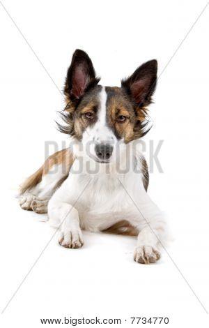 mixed breed dog, half border collie