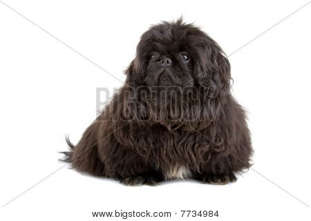 filhote de cachorro pequinês preto (palasthund de Pequim)