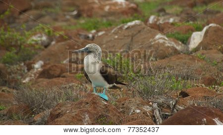 Blue-footed Booby in Galapagos Islands