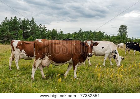 Milk Cows On Pasture Land