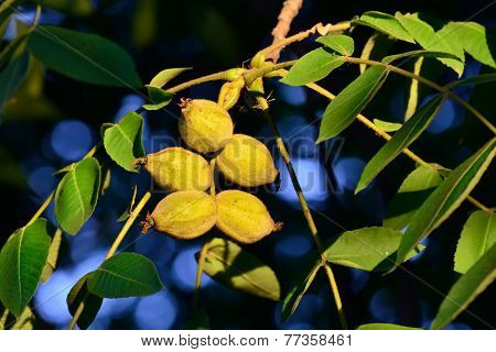 Fruits Of A Walnut (juglans Regia)