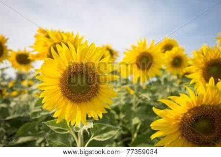 Sunflower In Field With  Blue Sky