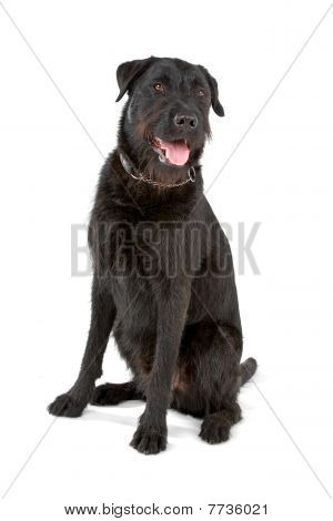 mixed breed dog (labrador/bouvier des flandres)