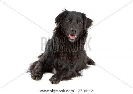 mixed breed dog half border collie