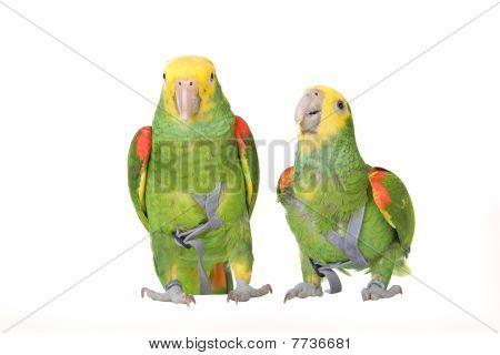 Venezuela Amazon parrots