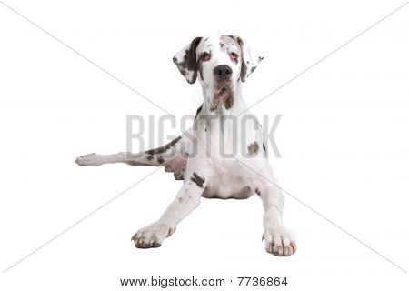 front view of a great dane dog