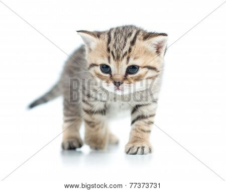 walking kitten cat isolated on white