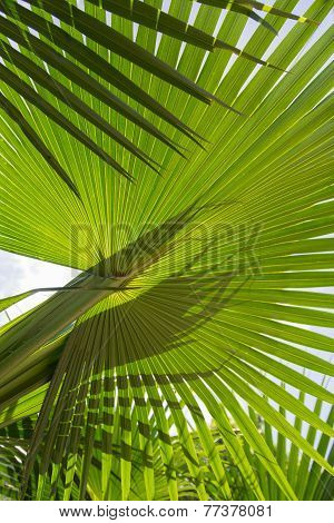 Close Up Of A Variety Of Palm Leaf