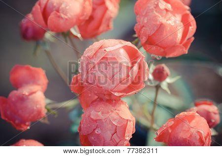 close up of floribundas rose blooming in garden