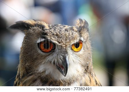 Huge Owl With Orange Eyes And The Thick Plumage