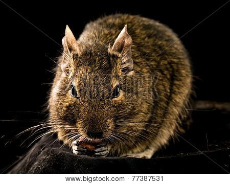 Small Chewing Rodent