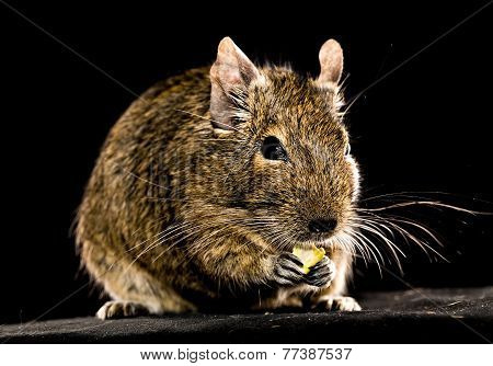Small Rodent Chewing Food