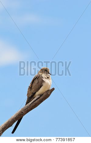 Namaqua Dove - African Wild Bird Background - Peace Posture