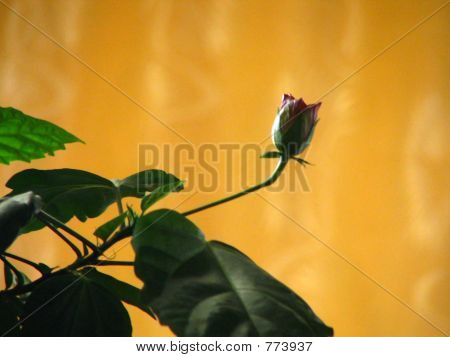 A young red rose