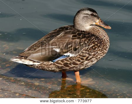 Hen Mallard Duck Waterfowl