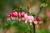 picture of broken heart flower  - red flower in the spring of a broken heart - JPG