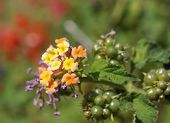 image of lantana  - Beautiful blossom of Lantana camara subtropical plant