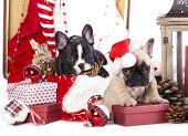 stock photo of christmas puppy  - puppy christmas French Bulldog - JPG