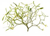 image of significant  - The Common Mistletoe  - JPG