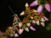 picture of night-blooming  - Macro night shot of a very small moth like insect resting on heather in bloom - JPG