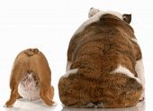 stock photo of derriere  - mother and puppy english bulldog viewed from the backside with reflection on white background - JPG
