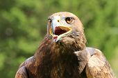 image of angry bird  - angry wild Eagle with open beak and tongue out  - JPG