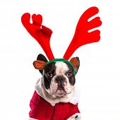 pic of rudolph  - French bulldog dressed as reindeer Rudolph over white - JPG