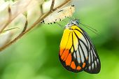 stock photo of cocoon  - Beautiful butterfly emerges from a cocoon - JPG